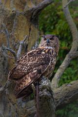 Eurasian Eagle Owl (jimmy_racoon) Tags: 70200 f4l is canon 5d mk2 eurasian eagle owl wildlife birds nature 70200f4lis canon5dmk2 eurasianeagleowl