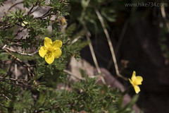 "Cinquefoil • <a style=""font-size:0.8em;"" href=""http://www.flickr.com/photos/63501323@N07/27816122773/"" target=""_blank"">View on Flickr</a>"