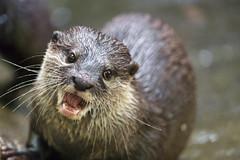 Smiling otter (Tambako the Jaguar) Tags: cool funny portrait openmouth otter cute jonskleinefarm kallnach zoo bern switzerland nikon d4