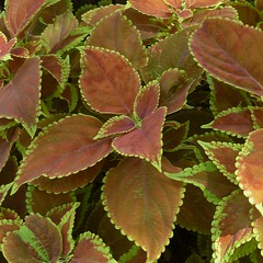 Chicago, Gold Coast, Coleus Plants (Mary Warren (7.1+ Million Views)) Tags: chicago goldcoast nature flora plants leaves foliage variegation
