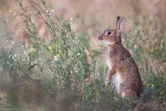 Lapin de garenne (Morgane_W) Tags: lapin garenne wild rabbit animal faune sauvage wildlife nature canon80d tamron150600