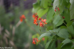 Beans (Katy Wrathall) Tags: 2016 eastriding eastyorkshire england july summer garden