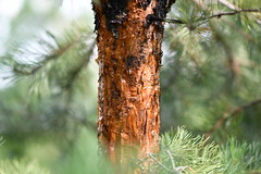 A bole (Anatoly S. photography) Tags: bole pine tree