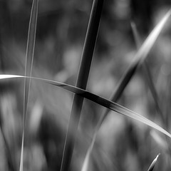 Marshland Grasses 031 (noahbw) Tags: light shadow blackandwhite bw abstract blur monochrome grass leaves square landscape blackwhite spring nikon dof natural depthoffield wetlands prairie marshland d5000 noahbw prairiewolfsloughforestpreserve