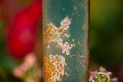 Macro Monday Series (Karen McQuilkin) Tags: flowers green time rusty geraniums planter karenmcquilkin