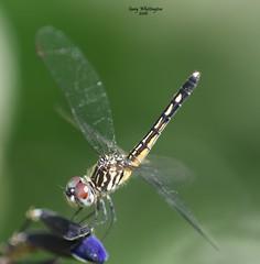 Dragonfly_0430 (Porch Dog) Tags: 2016 garywhittington kentucky nikond750 fx nikon105mm macro backyard home dragonfly bug critter