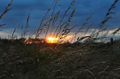 Grasses at sunset (Kirkleyjohn) Tags: sunset sun light grasses