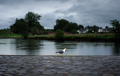 Seagull (Tamas Katai) Tags: seagull bird nature waterscape river teith scotland