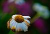 DSC00973 (Michael Rasmussen) Tags: sony sonya99 summer denmark danmark amount amazingamateur michaelrasmussen minoltaamount flower flowers blomster blomst