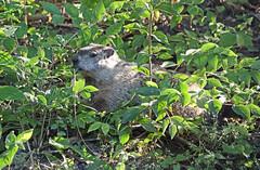 Time for Breakfast - Groundhog (Brad Rangell) Tags: groundhog woodchuck rodent mammal sciotoaudubonpark columbus ohio
