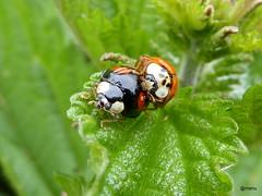in love (manu8369) Tags: bug inlove insekten