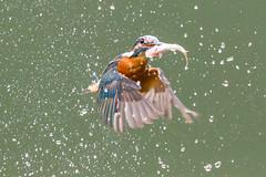 Kingfisher (John Ambler) Tags: male kingfisher fish stickleback stickle back john ambler johnambler wilflife photographer photographs photos orange blue water ngg ngc