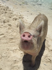 'Pig Island' (miranda.valenti12) Tags: pig island bahamas sand beachy beach nose posing water blue clear standing sunlight light hair expression wild wilderness wildlife animal animals footprints footsteps