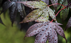 Wet Leaf Study 1 - July 2016 (GOR44Photographic@Gmail.com) Tags: macro tree green wet leaves leaf drops acer hatfield fujifilm tamron xpro1 tamron3570mmf35 gor44 3570mmf35fd