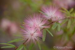 Pink dream (KronaPhoto) Tags: frankrike sommer makro blomst tre plante pink rosa soft myk dof natur nature france provence garden busk hage 2016 morten ninaos