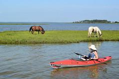 wild ponies & kayaker (wortenoggle) Tags: wild ponies sinepuxent assateague maryland paddle kayak