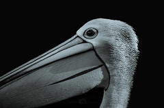 Pelican Portrait (Md Waheed Photography) Tags: pelican portrait blackandwhite black white face birdface beautiful singlesolo aquaticbird bird zoo tarongazoo sydney australia eye birdeye pelicanportrait nikond5100