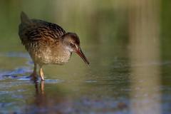 rle d'eau ( Rallus aquaticus ) Erdeven 160810x2 (pap alain) Tags: oiseaux chassiers rallids rledeau rallusaquaticus waterrail erdeven morbihan bretagne france