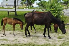 Cavalos de rua 04 (Parchen) Tags: cavalo cavalos equuscaballus nomecientfico cavalosderua urbanos rua soltos potro potrinho filhote cavalinho criados foto fotografia imagem registro parchen carlosparchen