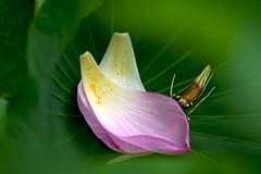 Petals (tez-guitar) Tags: summer flower macro green pentax lotus blossoms petal bloom tamron machida pentaxart machida