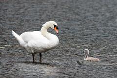 Gro & Klein (wildlifeNRW) Tags: vgel vogel schwan swan schwne natur nature wildlife