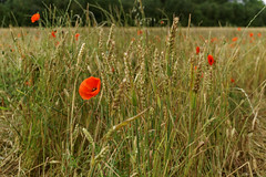 In memory of the fallen on the Somme (Richard Buckley) Tags: somme centenary picardy france battle war memorial poppies field corn scene view statue soldier basilica cross headstone grave greatwar worldwar1 caribou troops irish newfoundland australian shell artillery cemetery trench ceremony