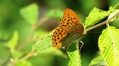 Argynnis paphia  (Le Tabac d'Espagne) (bernard.bonifassi) Tags: bb088 06 alpesmaritimes 2016 thiery papillon insecte letabacdespagne counteadenissa