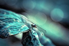 Through The Darkness To The Dawn (Anna Kwa) Tags: dragonfly art nature bokeh singapore annakwa nikon d750 afsnikkor70200mmf28gedvrii my darkness dawn voice always love deep heart beats live life seeing soul throughmylens thelumineers nobodyknows petesdragon blue eyes