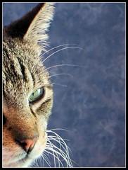 Morris (MaPeV) Tags: morris bellolindoguapetn gatos cats chats kawaii felin neko gatti gattini gattoni tabby chat katze gato kitty tabbyspoted powershot canon g16