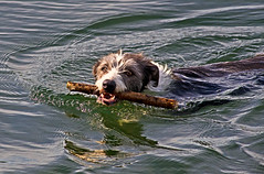 Badger in The Swim !! (Mid Glam Sam1) Tags: lurcher badger swimming stick cooling refreshing enjoyment dog collie cross