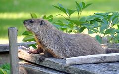 DSC_0261 (rachidH) Tags: rodents marmot groundhog woodchuck marmotamonax marmotte sparta nj rachidh nature