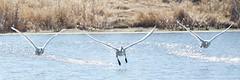 DSC_1414 (KevinYMa) Tags: bird nature tundraswan