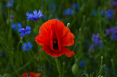 Red and blue 5 (Hejma (+/- 4500 faves and 1,5milion views)) Tags: uplandmiechowska polish poppies cornflowers buds red blue green