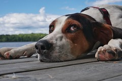 Lazy days of summer for dogs on the docks (beyondhue) Tags: dock lazy chill beyondhue lake ontario canada english foxhound