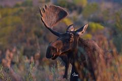 Ole One Paddle - Bull Moose at Sunrise - 2187b+ (teagden) Tags: bull moose bullmoose antlers velvetantlers velvet sunrise jenniferhall jenhall jenhallphotography idaho jenhallwildlifephotography wildlifephotography wildlife nature naturephotography photography wild nikon earlymorninglight earlymorning onepaddle missingantler