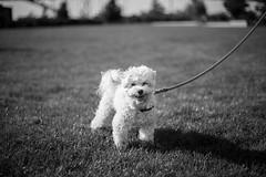 Toby (anyusernamewouldbenice) Tags: dogs portrait streetphotography street canine pups blackandwhite bw portland oregon summer sidewalk park pnw pdx pooch mutt paws poodle