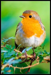 Robin (Mick Ryan Photography) Tags: robin bird nature wildlife naturephotography