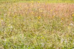 Pasture (pni) Tags: flower plant field multiexposure multipleexposure tripleexposure j16 jakobstad pietarsaari finland suomi pekkanikrus skrubu pni