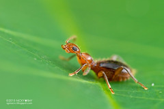 Ant-mimic beetle (Anthicidae) - DSC_7418 (nickybay) Tags: macro singapore beetle coleoptera antmimic venusdrive venusloop