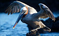 20140714-BK2W7405-Edit (Swaranjeet) Tags: pelican pelicans galapagos ecuador bird largebirds july2014 canon fullframe 1dx eos1dx dslr sjs swaran swaranjeet swaranjeetsingh sjsvision sjsphotography swaranjeetphotography 2014 eos canoneos1dx 35mm ef pro 200400 canonef200400mm canonef200400mmf4lisusm14x singh photographer thane mumbai india indian