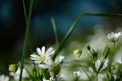 Stitchwort. (Lee1885) Tags: wild blur flower daisies nikon d7100