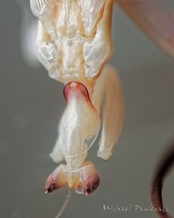 Male Orchid maturing molt (_papilio) Tags: macro mantis sony invertebrate papilio mantid arthropod a7ii coronatus orchidmantis hymenopus zeissmakroplanart100mmf2