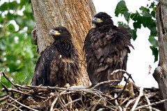 Eaglets at five weeks (ritchey.jj) Tags: eagles