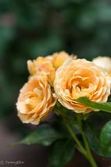 2015 Spring rose #8my friend's garden (Yorkey&Rin) Tags: macro japan tokyo spring may olympus rin  2015 inagi em5  myfriendsgarden springrose olympusm45mmf18   pc235954