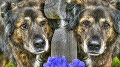Dog Looks (swong95765) Tags: dog pet flower cute dogs face animal eyes faces expression watching canine worried scared fearful hdr unsure concerned frightened timid skittish