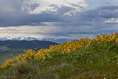 IMG_3348-Edit (Dancing Aspens) Tags: mountains montana wildlife arrowleafbalsamroot