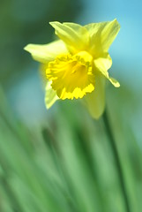 impression (megaradoll) Tags: colors sunshine bright pastels delicate fragile narcissus