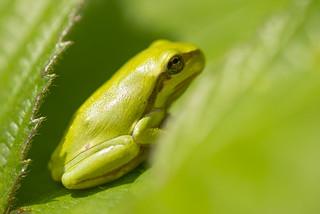 Rhapsody in green.(Hyla arborea)