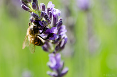 Working bee (GuillaumeMore Photographie) Tags: abeillles animaux d7000 drme elments fleurs france lavandes objectifsbotier pays proximacro rhnealpes sigma1770mmf284 styles