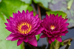 Beautiful sisters! (ineedathis,The older I get the more fun I have....) Tags: pink summer plant hot flower green nature beauty yellow closeup garden pond lily bokeh exotic watergarden fragrant tropical lilypads nymphaea waterplant showy   nikond750 bullseyewaterlily